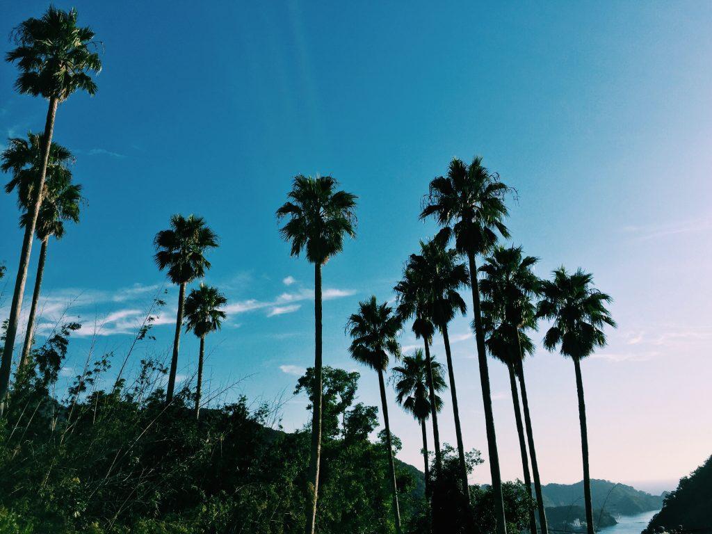 Palm trees in Nishiizu, Shizuoka